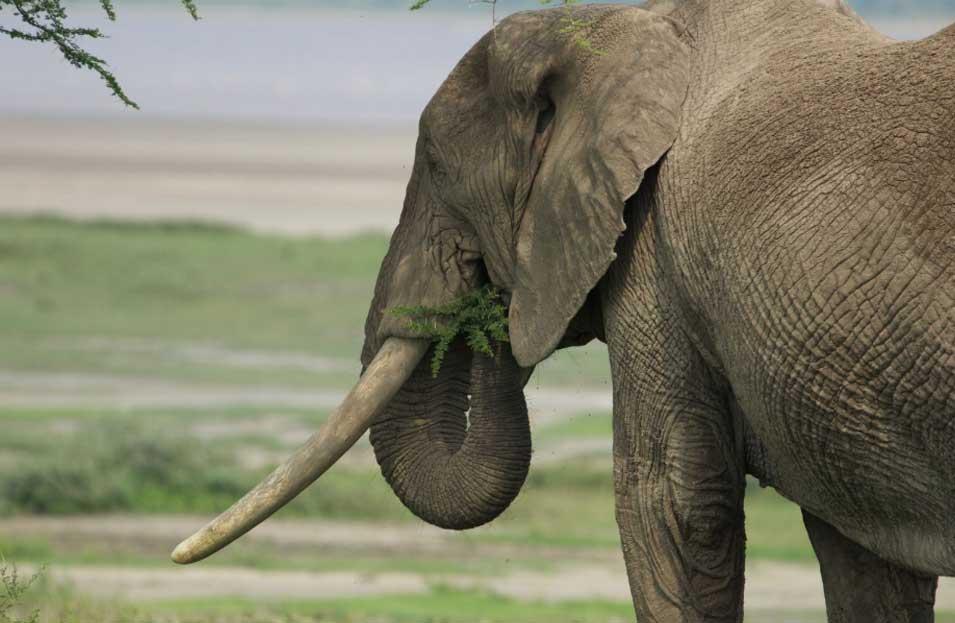 Elephant Attraction
